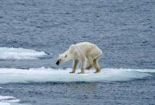 Photo of 北極熊瘦骨如柴 節能減碳救救牠!