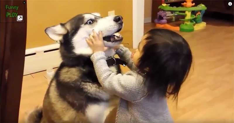 哈士奇:我...怕看牙啦.....小主人饒了我吧!