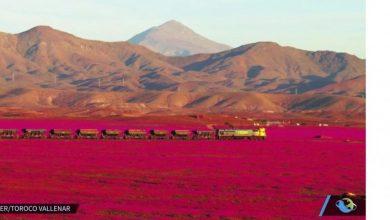 Photo of 颶風帶來水氣  智利沙漠出現花海奇景