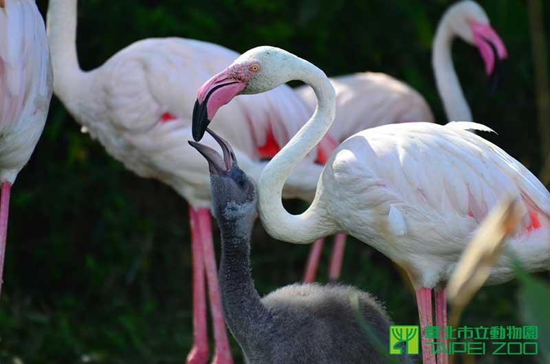 大紅鶴媽媽會從口中滴出「紅鶴乳」,餵食他的小寶寶。