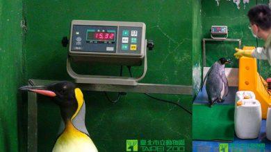 Photo of 國王企鵝量體重 沒在怕「發福」!