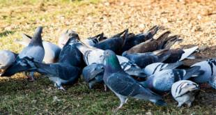 pigeons-644403_1280_meitu_1