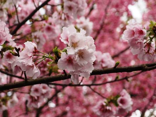 武陵農場櫻花。