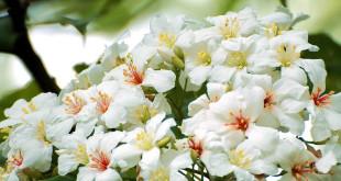 四月至五月間,新北市各大生態步道有機會見到俗稱「五月雪」的油桐花。〈圖片來源:翻攝wikimedia〉