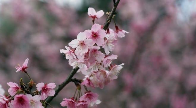 烏來雖然較難抵達,但深山的櫻花別有一番風景。〈圖片來源:翻攝pixabay ni19680〉