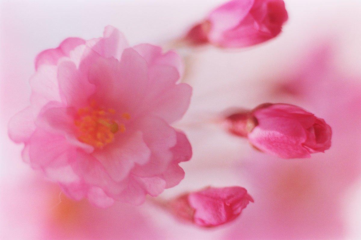 蜷川實花攝影作品SAKURA-049(credits_©mika ninagawa Courtesy of Tomio Koyama Gallery)