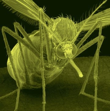 登革熱的雌斑蚊是散播登革熱病毒的媒介。