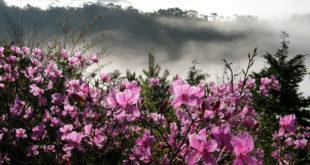 每年春季高山杜鵑綻放山坡盛景。〈圖片來源:翻攝維基〉