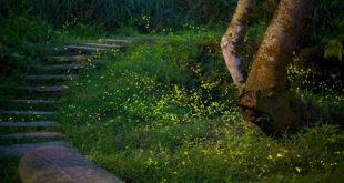 四月至五月間是螢火蟲出沒的時間,北市近郊的山上常可見到螢火蟲翩翩飛舞,圖為新店區和美山登山步道的螢火蟲盛況。〈圖片來源:和美山生態筆記粉絲頁〉
