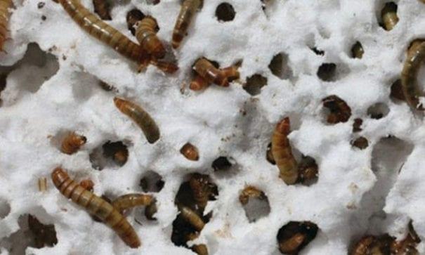 2009年已有台灣高中生曾依晴發現黃粉蟲可分解保麗龍。(圖片摘自網路)