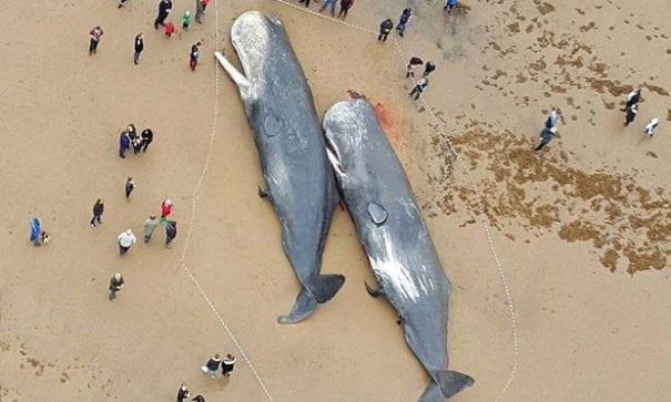 日前在德國海岸發現13隻擱淺的抹香鯨。(圖片摘自網路)