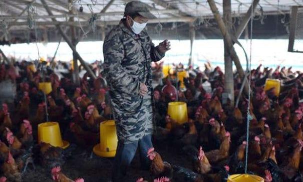 在擁擠的雞舍中,有些農場主人為保持雞隻健康會使用抗生素。(圖片來源:newsapi)