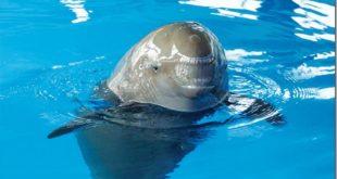 長江江豚模樣可愛,但由於水源汙染及過度開發問題,正瀕臨滅種危機。(圖片來源/翻攝自網路)