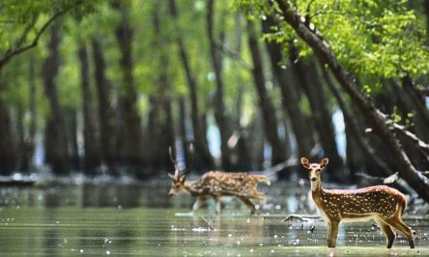 松達班樹林是許多動物賴以生存的家,同時也是孟加拉虎的原生地。(來源圖片:viewsontourism)