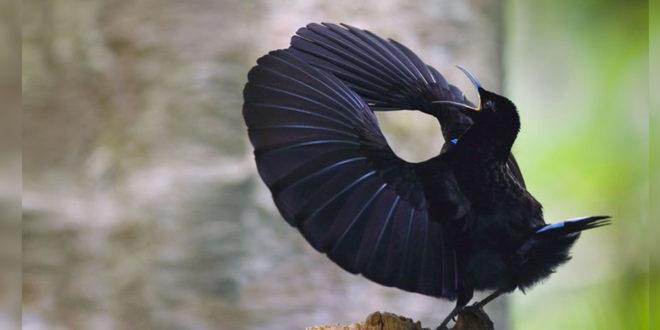 麗色裙風鳥的求偶舞就像打拳,會發出刷刷聲。(圖片來源:pinimg)