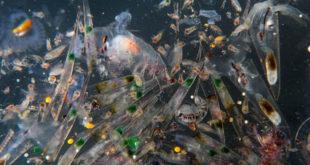 綠色和平指出,塑膠污染已經擴散到民眾平常吃的海鮮裡,特別是魚類、貝類和甲殼類。這些累積在海鮮裡的塑膠通常還夾雜著許多有毒物質,包括塑化劑、雙酚A、壬基酚、多氯聯苯(PCBs)和多環芳香烴(PAHs);吃海鮮的同時,也把這些會干擾內分泌、生殖系統,甚至可能致癌的有毒物質一併吃下肚。  圖片來源:綠色和平提供