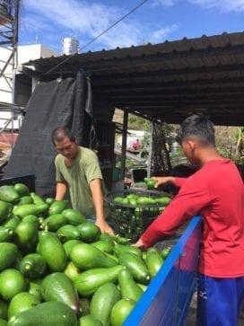 網友溫馨相挺,讓果農一家因颱風損失減至最低,七萬顆酪梨也免於躺在地上腐爛的命運。(圖片來源:翻攝蔡秀玉臉書)
