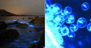 每隻夜光蟲身上含有發光源機制,發光的部位在細胞膜上,每隻大約含有1萬個發光源,每個發光源大小為0.5到1.5微米。  圖片來源:網路截圖