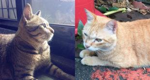 大橘子(右)在去年底遭台大碩士生陳皓揚掐死,沒想到他今年8月初又掐死另一隻貓斑斑(左),令人心寒。  圖片來源:動物誌FB、大橘子離開了溫州街住進我們心裡FB