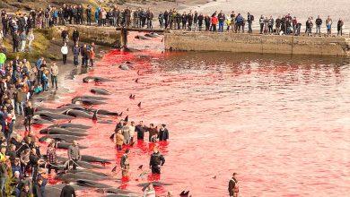 Photo of 大屠殺!丹麥小島年獵800隻   鯨魚恐滅絕
