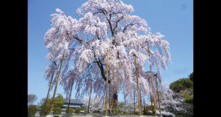 東寺的不二櫻是至今所見單株最美的櫻花。(圖片來源:《私藏東京──美學、巷弄名景食的日本品遊散策》,麥浩斯出版。)