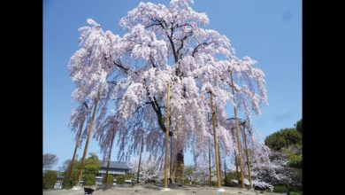Photo of 鐵道遊東京 京都私藏的櫻花物語