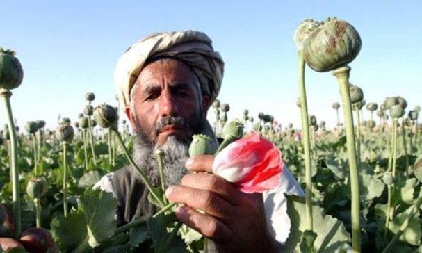 阿富汗農民不再農耕改種植罌粟換取收入。(照片摘自theworldweekly)