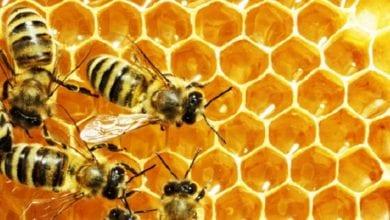 Photo of 全球75%蜂蜜染毒! 學者:長期食用恐傷腦