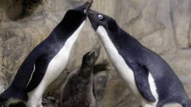 Photo of 八點檔劇情!同志企鵝求子心切 竟「綁架」鄰居的寶寶