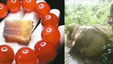 Photo of 未斷氣就活剝皮做「血念珠」 動保團體:緬甸象2030年前將絕種