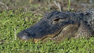 Photo of 衰!「冰毒」沖馬桶流入河川 美鱷魚被迫嗑藥充滿攻擊慾