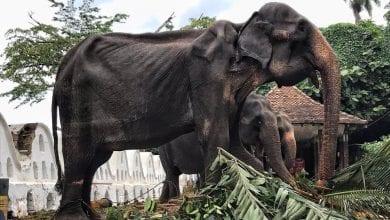 Photo of 斯里蘭卡70歲母象每天載人遊行數小時 皮包骨令人心酸