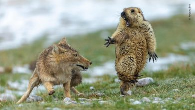 Photo of 令人震撼的擬人動作!他獲國際野生動物攝影師大獎