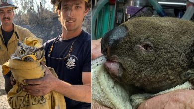 Photo of 森林大火頻傳!澳無尾熊、美貓頭鷹被救模樣令人疼惜
