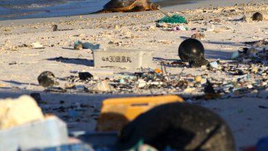 Photo of 仙境變墓地!中途島成垃圾場 海鳥肚子全是塑膠