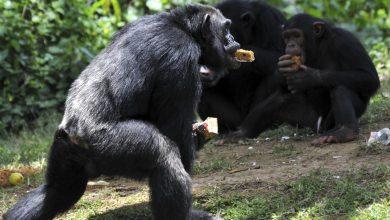 Photo of 棲息地遭破壞覓食難 非洲黑猩猩竟獵殺人類小孩吃內臟