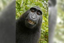Photo of 「按快門的是猴子」惹官司!英國攝影師贏得爆紅「獼猴自拍照」著作權