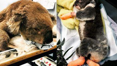 Photo of 澳大火無尾熊逃過一劫 卻因好心人餵水引肺炎死