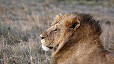 Photo of 為製造巫醫藥水治病、驅魔 殘忍砍下南非獅子的鼻、掌