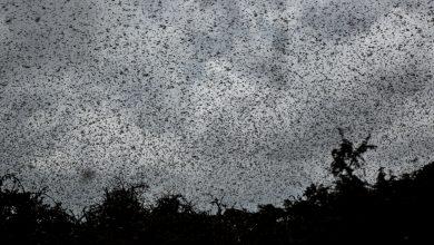 Photo of 非洲數億蝗蟲釀糧食危機 UN:蝗蟲群大到遮蓋各主要城市