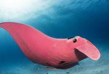Photo of 世界唯一! 攝影師澳大堡礁巧遇粉紅色鬼蝠魟