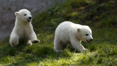 Photo of 捕不到獵物!成年北極熊叼幼熊頭顱不忍卒睹