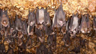 Photo of 就是牠!「雲南蝙蝠」病毒基因96%相似新冠病毒 3%當地人有抗體