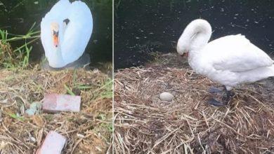 Photo of 蛋被屁孩砸碎、另一半離家出走 母天鵝悲傷過度「心碎至死」