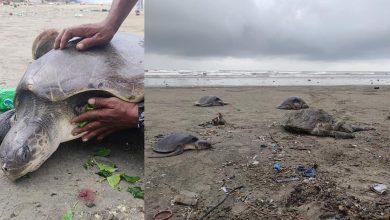 Photo of 160隻海龜被海洋垃圾纏住沖上岸 居民救援發現「連頭都不見了」