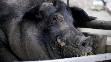 Photo of 強迫灌食成七隻豬的重量 動保團體為祭品豬發聲