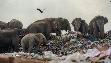 Photo of 大象家族瘦弱令人心碎 攝影師跟蹤發現心碎真相:根本在自殺!