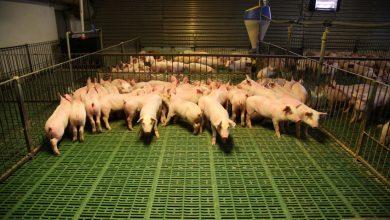 Photo of 風向觀點:吃不吃萊豬,是科學問題,更是邏輯問題